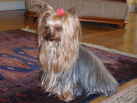 Yorkshire Terrier - Simple English Wikipedia, the free