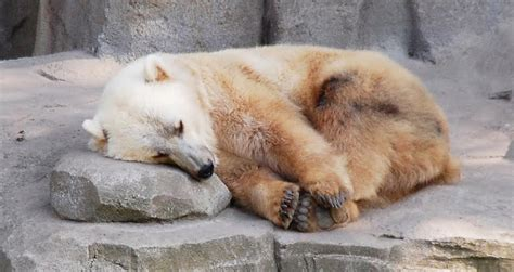 The Grizzly-Polar Bear Hybrid Taking Over The Arctic Tundra
