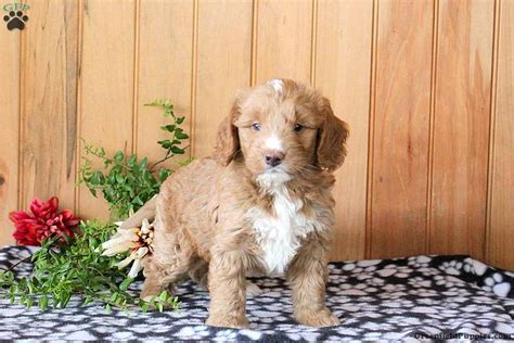 Mini Golden Mountain Doodle Puppies for Sale   Greenfield