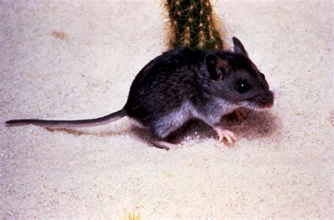 Free picture: deer, mouse, peromyscus maniculatus