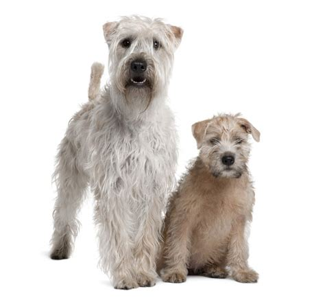 Soft Coated Wheaten Terrier | Dogs | Breed Information | Omlet
