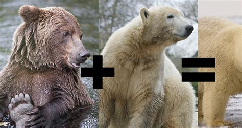 Polar Bears And Grizzlies Are Mating And The Results Are