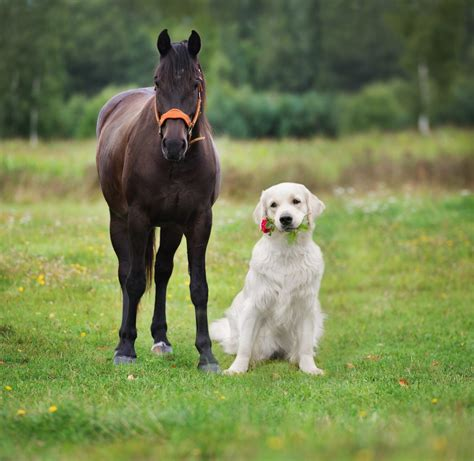 4 Dog Breeds That Work Well With Horses | Greenfield Puppies