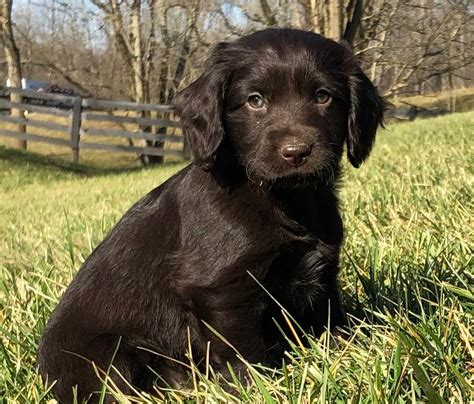 Boykin Spaniel Puppies for Sale - Swamp Poodles