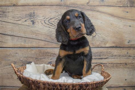 Gordon Setter Puppies for Sale   Greenfield Puppies